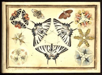 Hallé, Coléoptères et papillons peints par Hallé,[entre 1770 et 1782?] (BU Santé AJG, UT3PS, Res Sc 615 358)